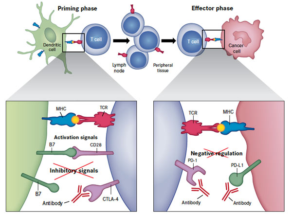 PD-L1 Immunotherapy