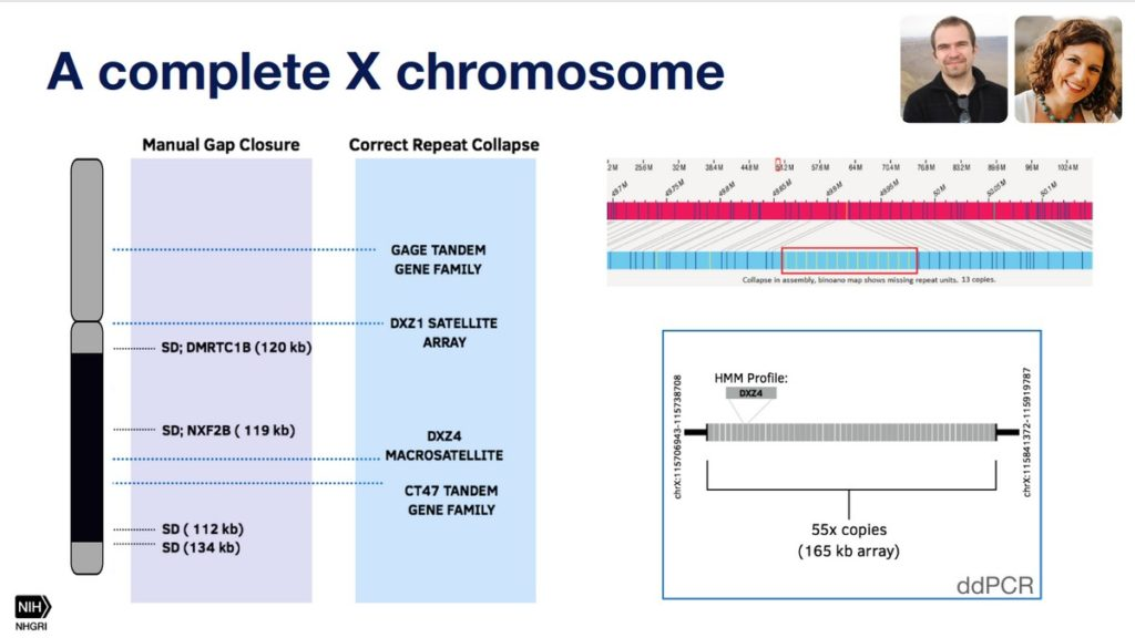 The complete X-chromosome.